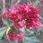 Genevieve Botti - Centranthus ruber (L.) DC.