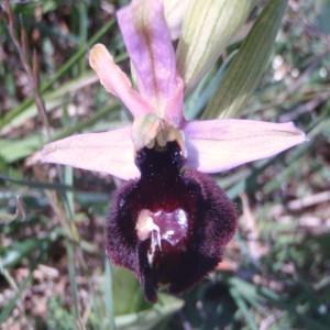 Ophrys magniflora Melki & Geniez (Ophrys)