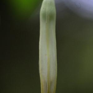 Photographie n°74479 du taxon Polygonatum odoratum (Mill.) Druce [1906]