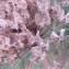 Genevieve Botti - Allium nigrum L.
