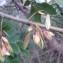 Genevieve Botti - Fraxinus angustifolia Vahl