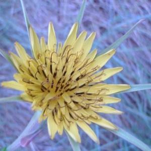 Photographie n°74510 du taxon Tragopogon dubius Scop. [1772]