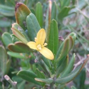 Cneorum tricoccon L. (Camélée)
