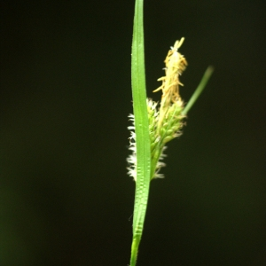 Carex pallescens L. [1753] (Laiche pâle)