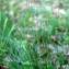 Liliane Roubaudi - Festuca tenuifolia Sibth.