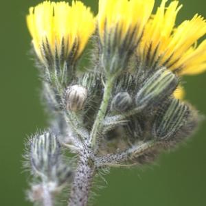 Photographie n°74594 du taxon Hieracium pratense Tausch