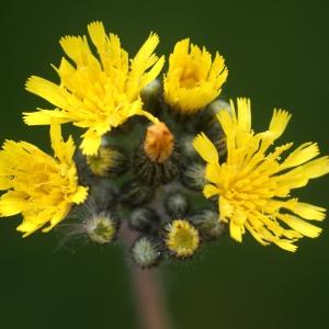 Hieracium caespitosum Dumort. (Piloselle cespiteuse)