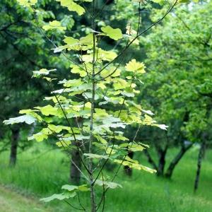 Photographie n°74620 du taxon Acer obtusatum Waldst. & Kit. ex Willd. [1806]