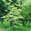 Liliane Roubaudi - Acer obtusatum Waldst. & Kit. ex Willd. [1806]