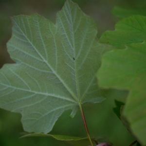 - Acer obtusatum Waldst. & Kit. ex Willd. [1806]