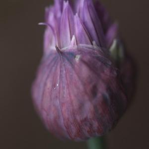 Photographie n°74625 du taxon Allium schoenoprasum L.