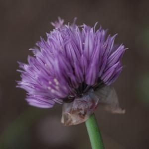 Photographie n°74626 du taxon Allium schoenoprasum L.