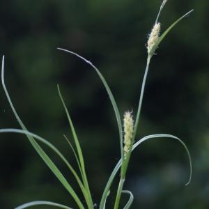 Photographie n°74658 du taxon Carex hirta L.