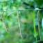 Liliane Roubaudi - Carex pendula Huds. [1762]