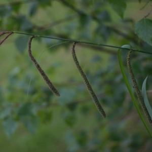 Photographie n°74669 du taxon Carex pendula Huds. [1762]