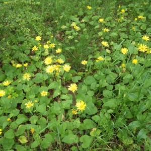 Photographie n°74675 du taxon Doronicum pardalianches L.