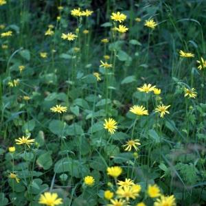 Photographie n°74678 du taxon Doronicum pardalianches L.