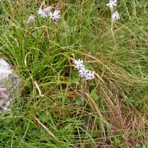 Photographie n°74690 du taxon Silene ciliata subsp. ciliata