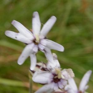 - Silene ciliata subsp. ciliata