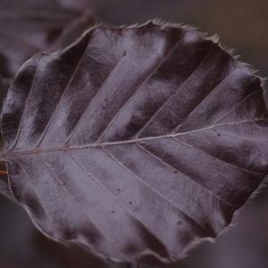 Fagus sylvatica var. sylvatica f. purpurea (Aiton) C.K.Schneid.