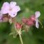 Liliane Roubaudi - Geranium macrorrhizum L.