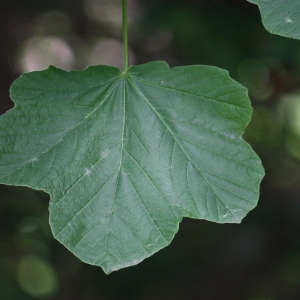 Photographie n°74767 du taxon Acer opalus Mill.