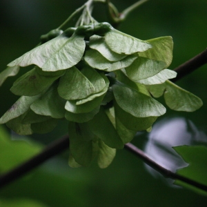Photographie n°74768 du taxon Acer opalus Mill.