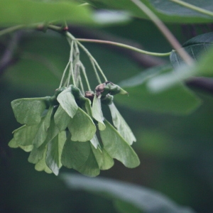 Photographie n°74772 du taxon Acer opalus Mill.