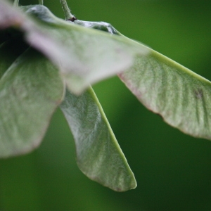 Photographie n°74773 du taxon Acer opalus Mill.