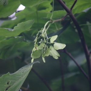 Photographie n°74774 du taxon Acer opalus Mill.