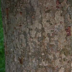 Photographie n°74827 du taxon Acer pseudoplatanus L.