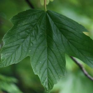 Photographie n°74829 du taxon Acer pseudoplatanus L.
