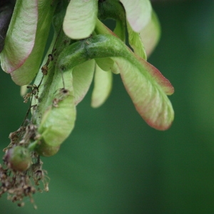 Photographie n°74830 du taxon Acer pseudoplatanus L.