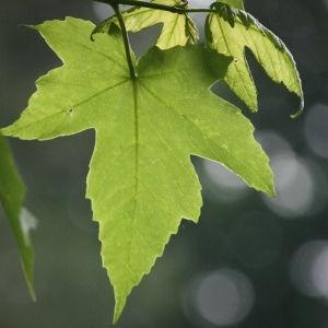Photographie n°74833 du taxon Acer pseudoplatanus L.