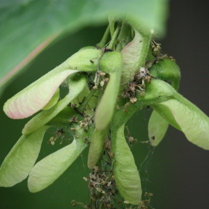 Photographie n°74836 du taxon Acer pseudoplatanus L.