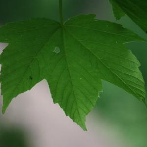 Photographie n°74838 du taxon Acer pseudoplatanus L.