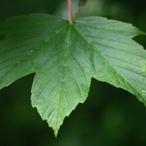 Photographie n°74839 du taxon Acer pseudoplatanus L.