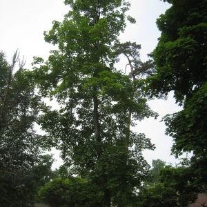 Photographie n°74840 du taxon Acer pseudoplatanus L.