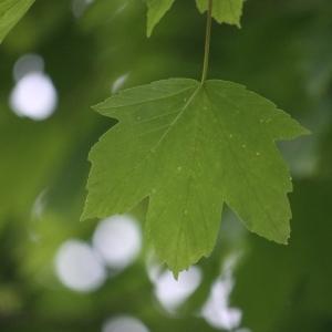 Photographie n°74841 du taxon Acer pseudoplatanus L.