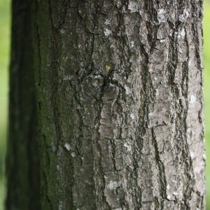 Photographie n°74895 du taxon Quercus robur L. [1753]