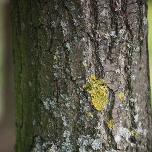 Photographie n°74896 du taxon Quercus robur L. [1753]
