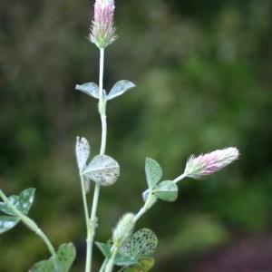 Photographie n°74899 du taxon Trifolium incarnatum L. [1753]