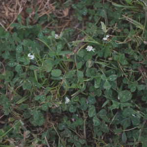 Photographie n°74909 du taxon Trifolium subterraneum L. [1753]