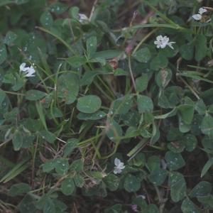Photographie n°74910 du taxon Trifolium subterraneum L. [1753]