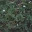 Liliane Roubaudi - Trifolium subterraneum L. [1753]