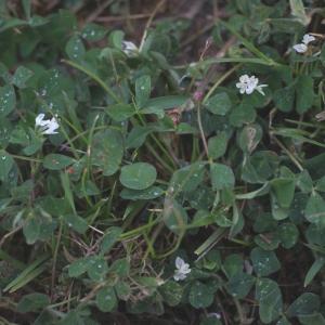 Photographie n°74911 du taxon Trifolium subterraneum L. [1753]