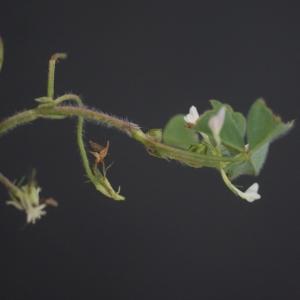 Photographie n°74912 du taxon Trifolium subterraneum L. [1753]