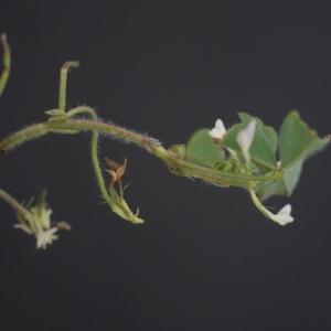 Photographie n°74913 du taxon Trifolium subterraneum L. [1753]
