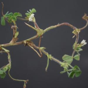 Photographie n°74915 du taxon Trifolium subterraneum L. [1753]