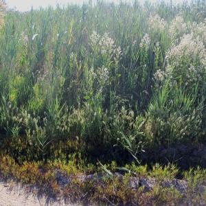 Photographie n°75031 du taxon Lepidium latifolium L.